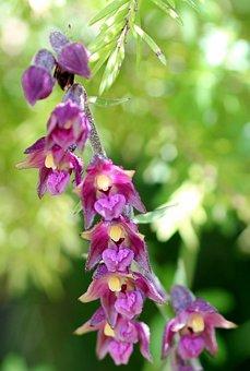 Red Helleborine, Wild Flower, Blossom, Bloom, Orchid