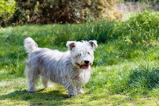 Dog, Glen Of Imaal Terrier, Terrier, Glen Of Imaal