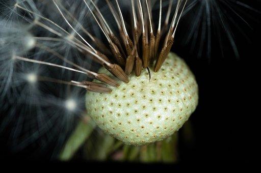 Dandelion, Seeds, Faded, Blossom, Bloom, Macro, Flowers