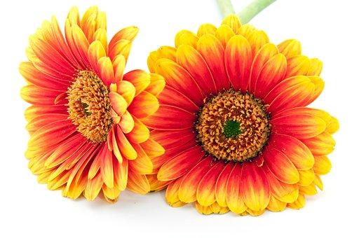 Gerbera, Cut Out, Blossom, Bloom, Nature, Flower, Macro