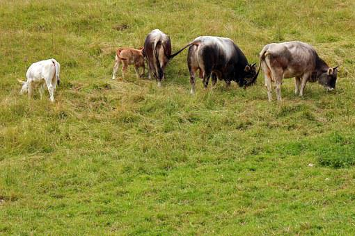 Almkühe, Cows, Cow, Alm, Alpine Meadow, Graze