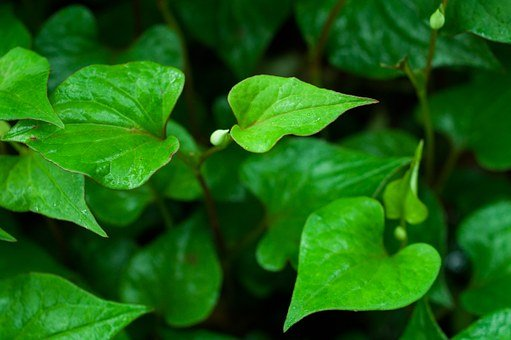 Leaf, Heart-shaped, Houttuynia Cordata, Green