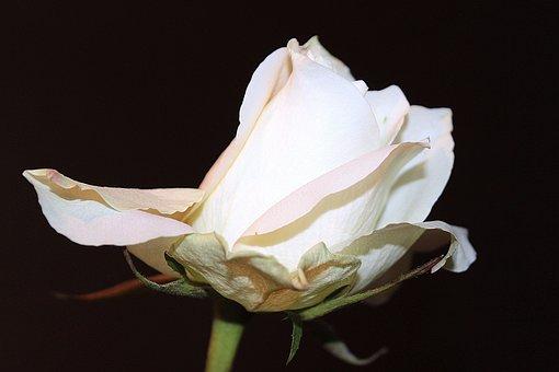 Rose, White Rose, Blossom, Bloom, Rose Bloom, Love