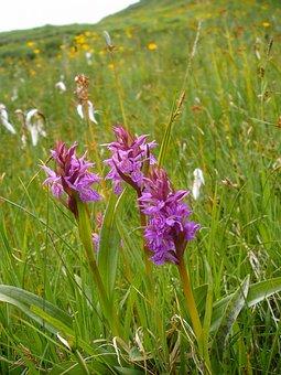 Kuckucksblume Group, Orchid, Mountain Hike, Nature