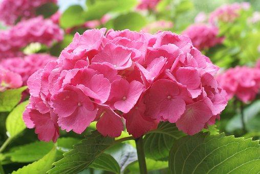 Pink, Hydrangea, Nature, Fruen, Plant, Garden