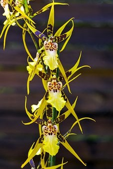 Brassia Verrucosa, Orchid, Flower, Plant, Potted Plant