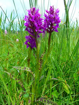 Orchid, Western Marsh Knabenkraut