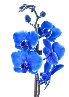 Phalaenopsis, Orchid, Colored Blue, Phalaenopsis Orchid