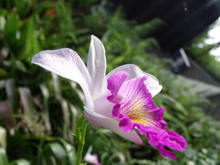 Cattleya, Orchid, Flowers, Plant