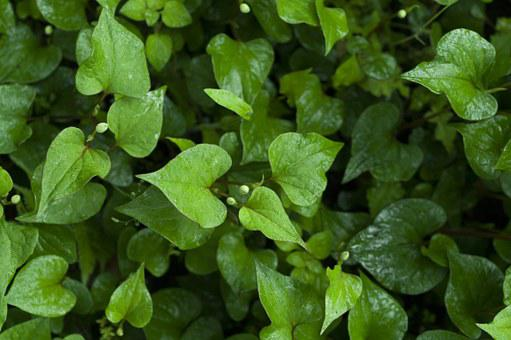 Houttuynia Cordata, Wet, Green, Plant, Rainy Season