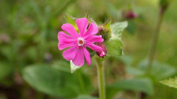 Dagkoekoesbloem, Silene Dioica, Forest, Nature, Pink