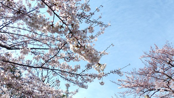 Sakura, Cherry Blossom, Sky, Spring, Nature, Tree