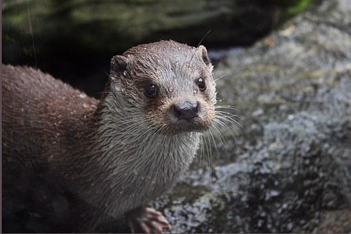 Otter, Zoo Deep, Fousky, Water