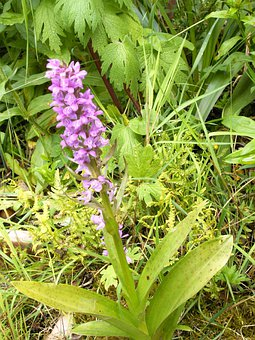 Western Marsh Knabenkraut, Orchid, German