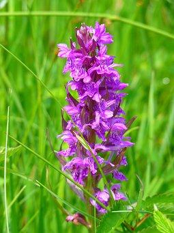 Orchid, Western Marsh, Western Marsh Knabenkraut