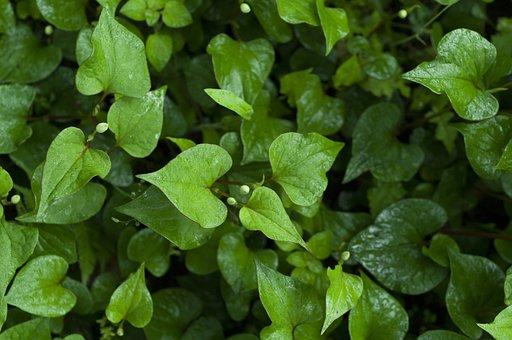 Houttuynia Cordata, Wet, Green, Plant, Rainy Season