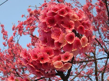 Cherry Blossoms, Yoshino Yīng, Fish Eye Effect, Spring