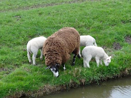 Lamb, Lambs, Sheep, Spring, Nature, Animals, Mammals