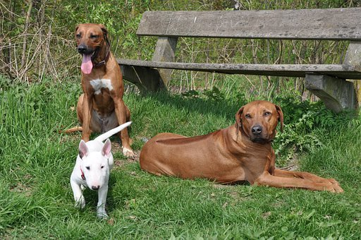 Dogs, Animals, Bull Terrier, White, Brown
