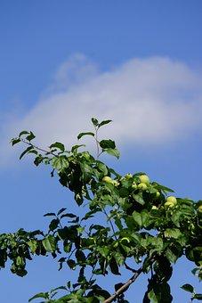 Apple Tree, Fruit, Apple Ripening, Apple