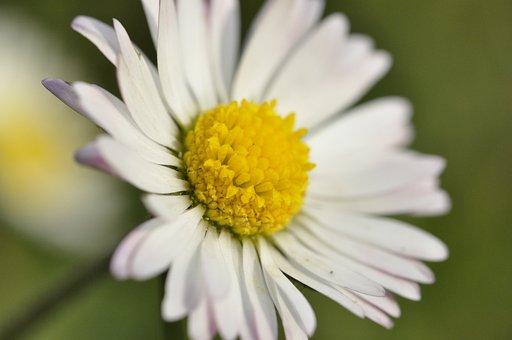 Daisy, White Flower, Flower, Beautiful, Blossom, Bloom