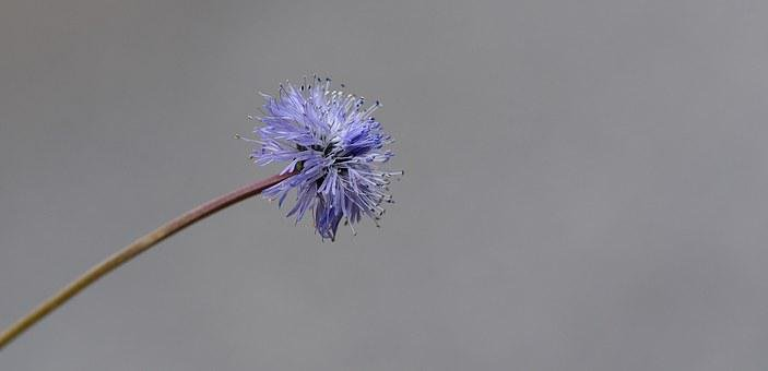 Jasione Montana, Flower, Plant, Blossom, Bloom, Blue