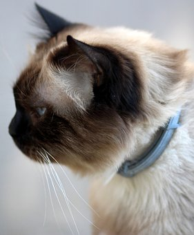 Cat, Burmese, Blue Eyes