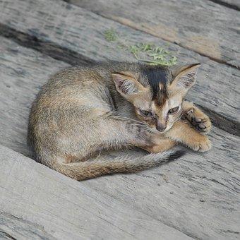 Burmese Cat, Cat, Young Cat, Kitten, Cute, Animal