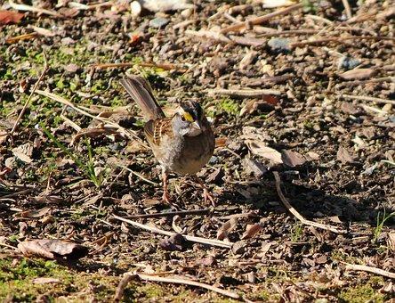 White Throated Sparrow, Bird, Songbird, Camouflage
