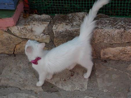 White, Cat, Cute, Pet, Animal, Feline, Domestic, Kitten