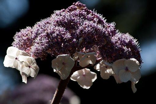 Velvet Hydrangea, Hydrangea Aspera, Flower, Flowers