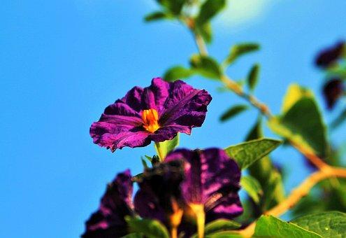 Potato Bush Flower, Flower, Potato Bush, Purple, Bright