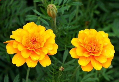 Orange Marigolds, Gerber Daisy, Flowers, Blossom, Fresh