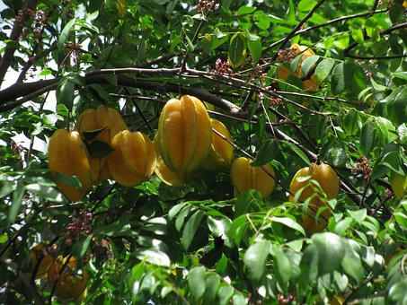 Star Fruit, Fruit, Tree, Nutrition, Frisch, Tropical
