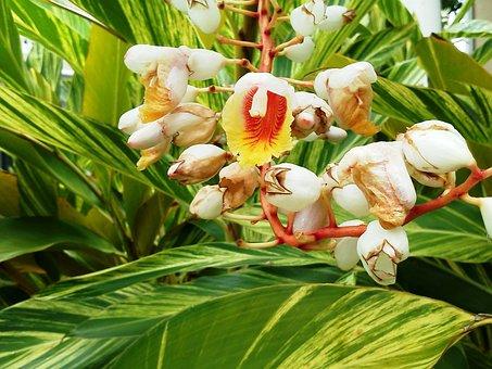 Ginger, Ginger Blossoms, Tropical, Flower, Plant
