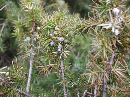 Juniper, Green, Pointed, Spring, Nature, Berries