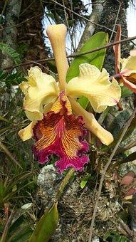 Orchid, Catleya, Dowiana Catleya, Guaria