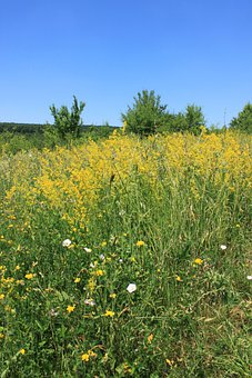 Bedstraw, Field, Flowers, Galium, Lady, Verum, Yellow