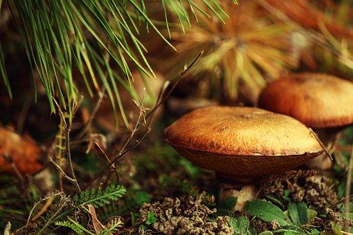 Mushrooms, Maślaki, Forest, Nature, Macro, Autumn, Moss