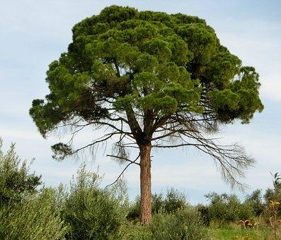 Pine, Conifer, Tree, Mediterranean, Green