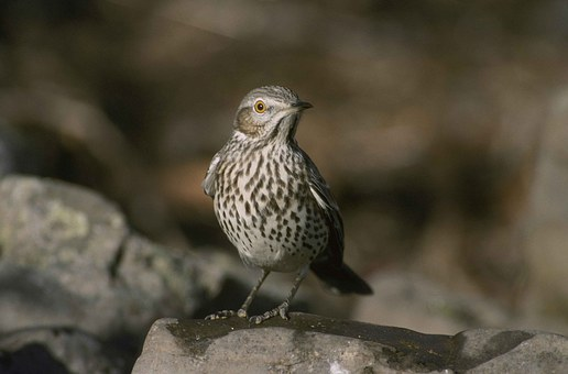 Montanus, Oreoscoptes, Bird, Thraster, Sage, Birds