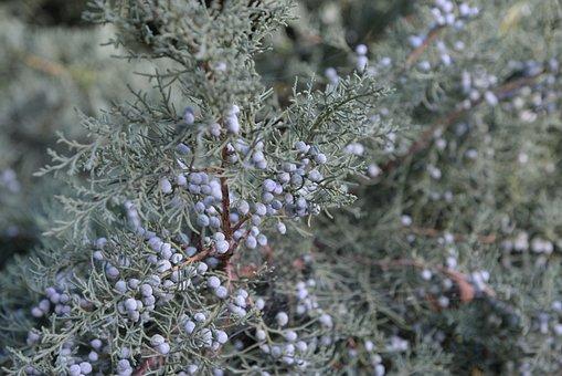 Berry, Juniper, Plant, Crop, Nature