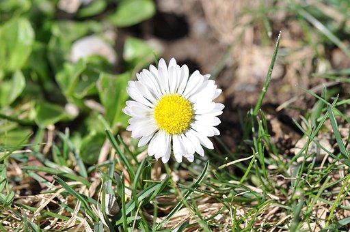 Geese Flower, Daisy, White, Flower, Plant, Blossom