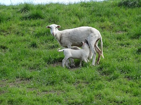 Lambs, Sheep, Mammals, Frolic, Netherlands, Young