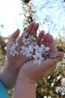 Flowers, Cherry, Handschild, Spring