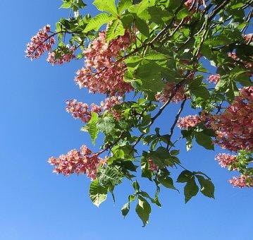 Flower, Spring, Blue Sky, Green, Nature, Chestnut