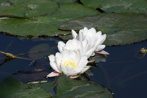Water Lily, Three, Pond, Bloom, Nature