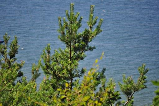 Tree, Coniferous, Green, Tree Over Water
