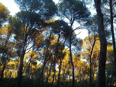 Pine Trees, Trees, Mallorca, Landscape, Fresh, Wood