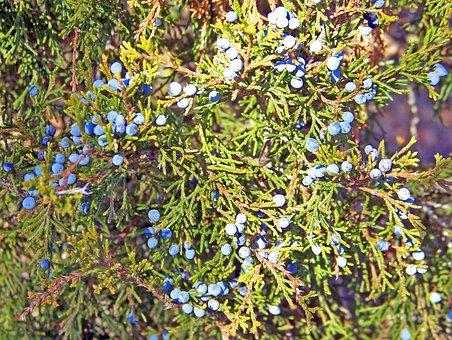 Juniper, Berries, Blue, Leaves, Tree, Flora, Vegetation